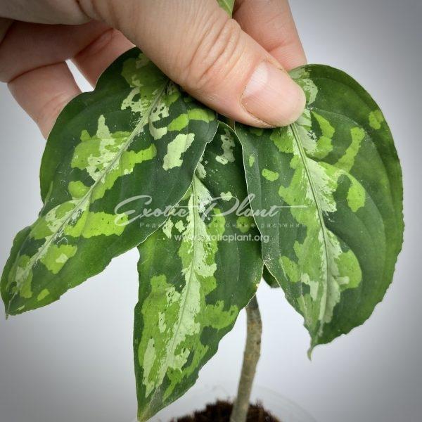 aglaonema pictum tricolor #12