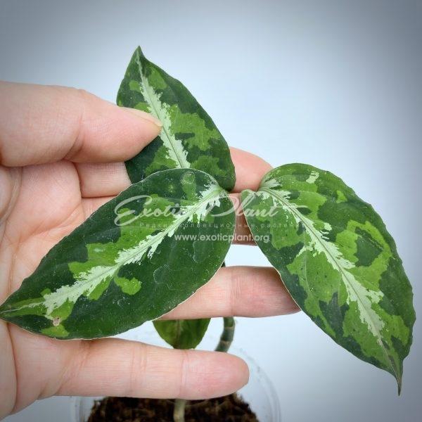 aglaonema pictum tricolor #13