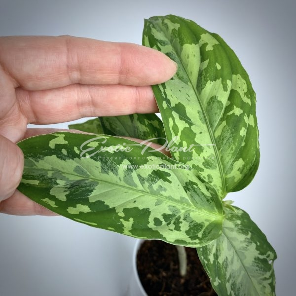 aglaonema pictum tricolor #8