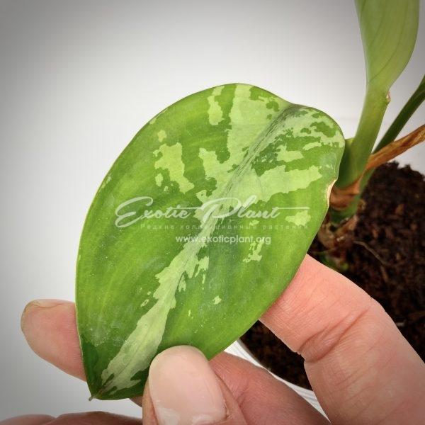aglaonema pumilium (Southern Thailand)