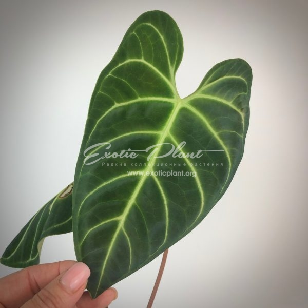 anthurium regale
