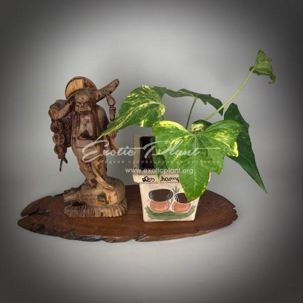 anthurium sp Pinnochio variegated / антуриум сп Пиннокио вариегатный