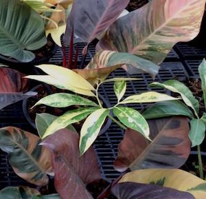 Интернет-магазин редких коллекционных растений открыт!