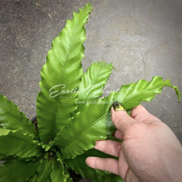 предзаказ asplenium scolopendrium