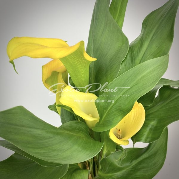 calla Golden Crown
