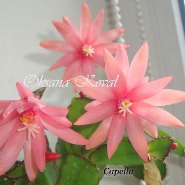 rhipsalidopsis Capella