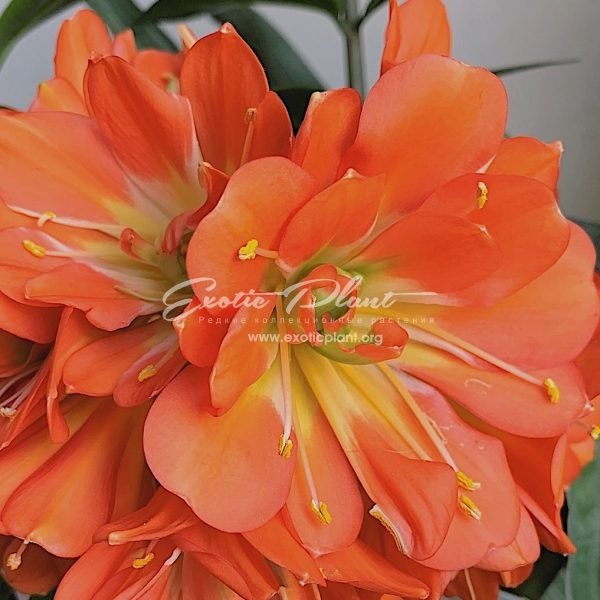 Clivia multipetal red x pink white