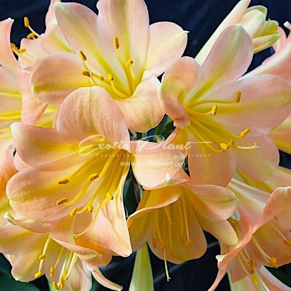 Clivia Vico Pink variegated x Akebono Yellow