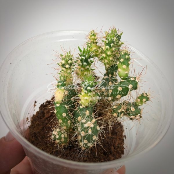 cylindropuntia variegated