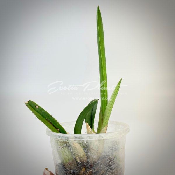 eulophia petersii