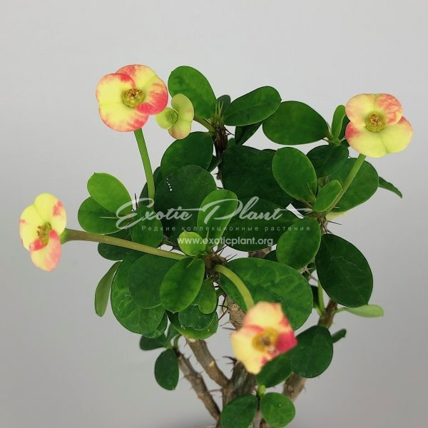 euphorbia dwarf form Strawberry Jam Splash