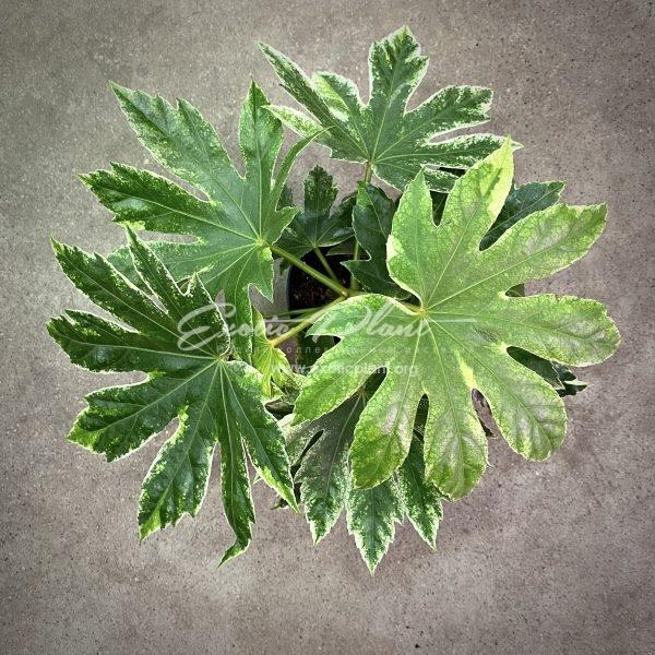 предзаказ fatsia japonica variegated