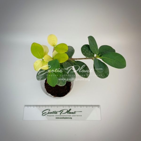 ficus cv Green Island variegated