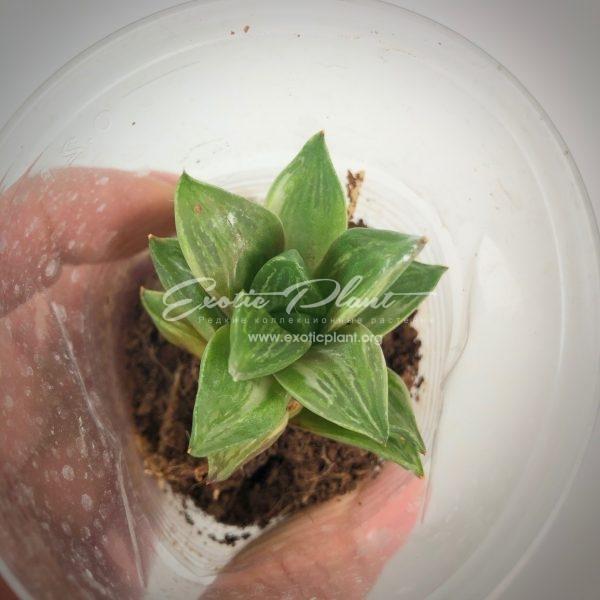 haworthia retusa variegated
