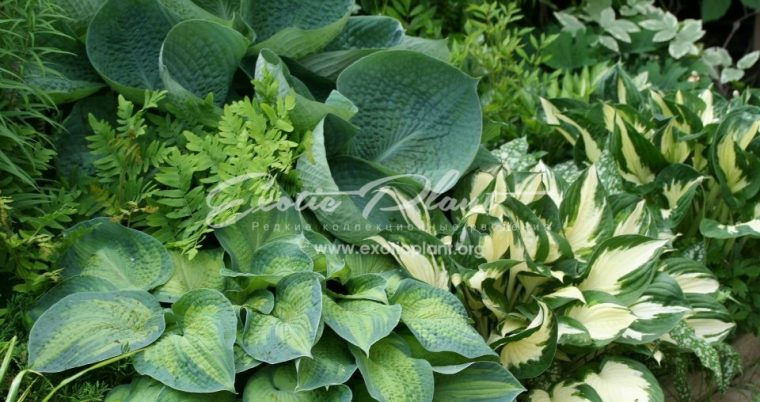 hosta group