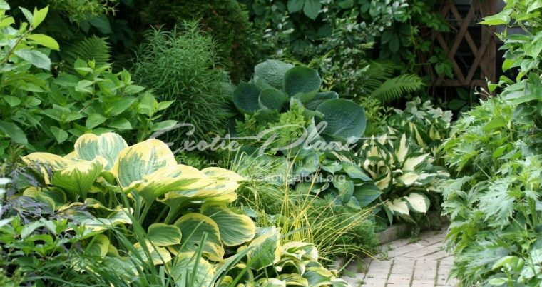 hosta group2