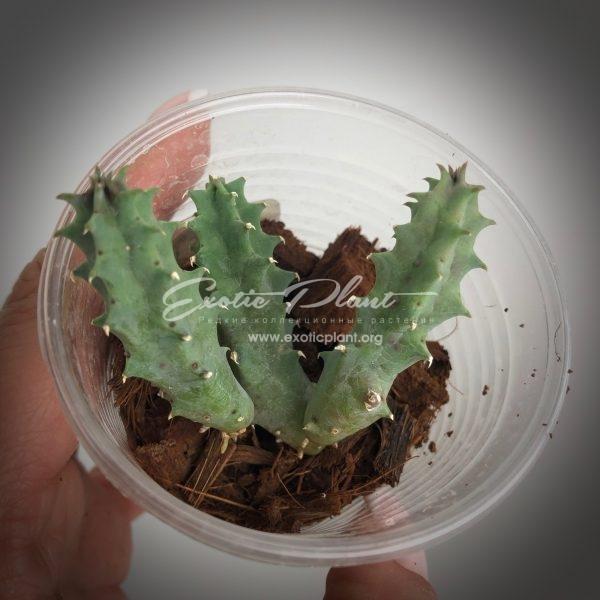 huernia cv Red Belly