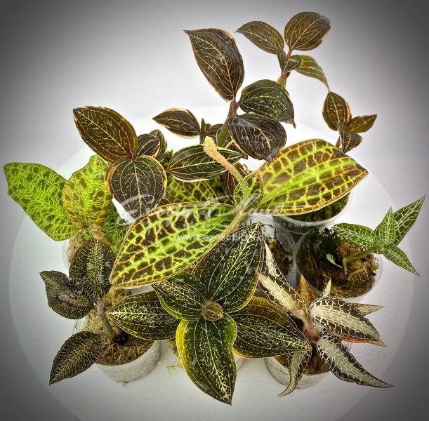 Ludisia discolor variegated