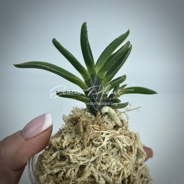 neofinetia falcata Toganzan (Goemon) 吐含山