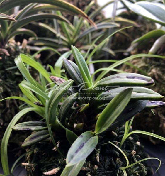 neofinetia falcata Shigyoku 紫玉 #1