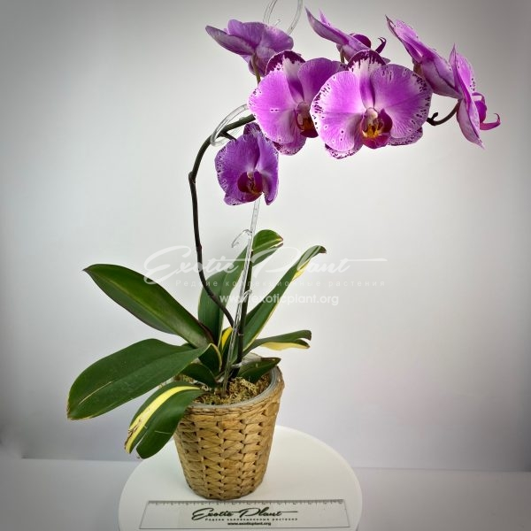 phalaenopsis Pearl Beauty variegated
