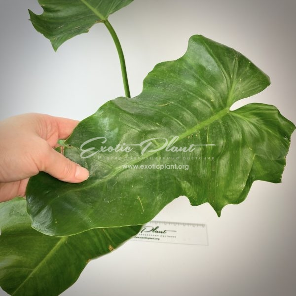 philodendron Giant Leaves Rain Forest