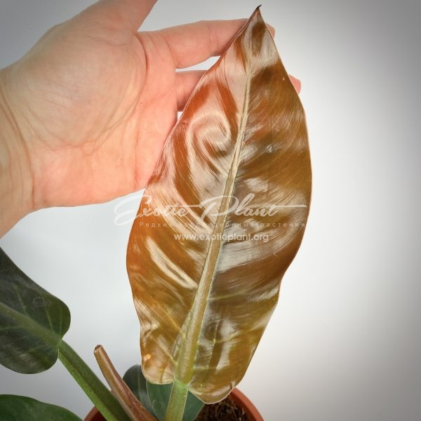 philodendron Imperial Red