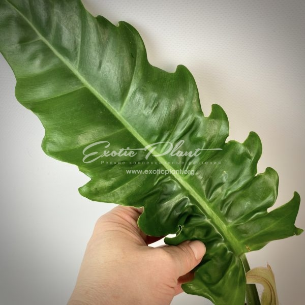 philodendron Tiger Tooth