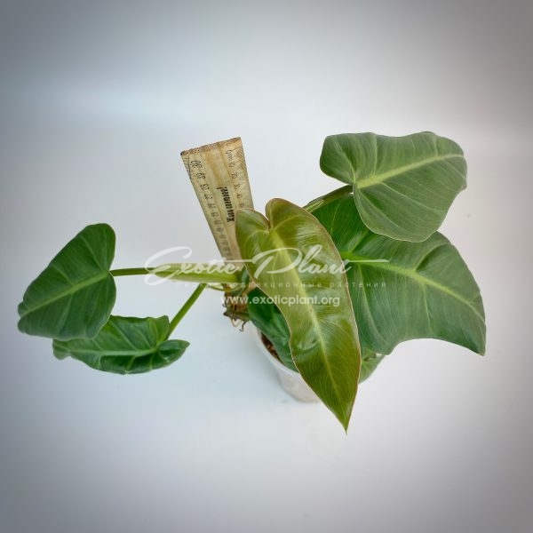 philodendron sp Giant Leaves syn Philodendron maximum