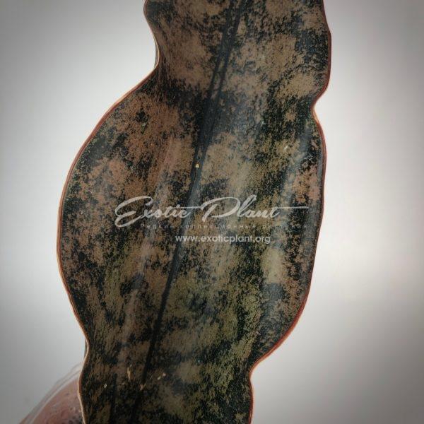 sansevieria 176 kirkii var. pulchra Coppertone