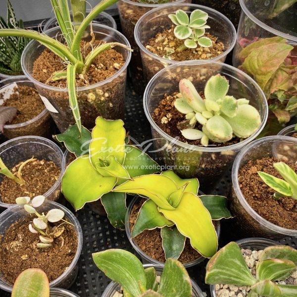 sansevieria 510 Zanzibarica yellow variegated