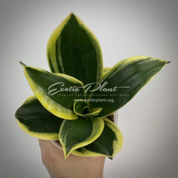 sansevieria hannii Jade albomarginata
