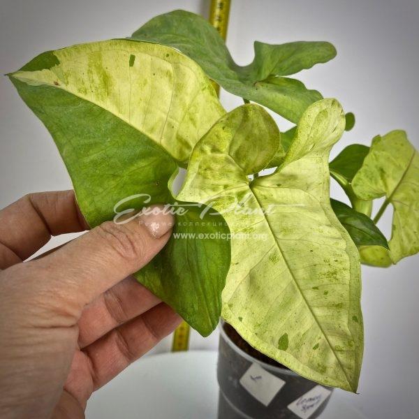 syngonium Lemon Spot variegated