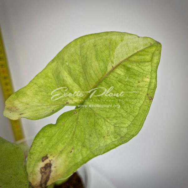 syngonium Lemon Spot variegated