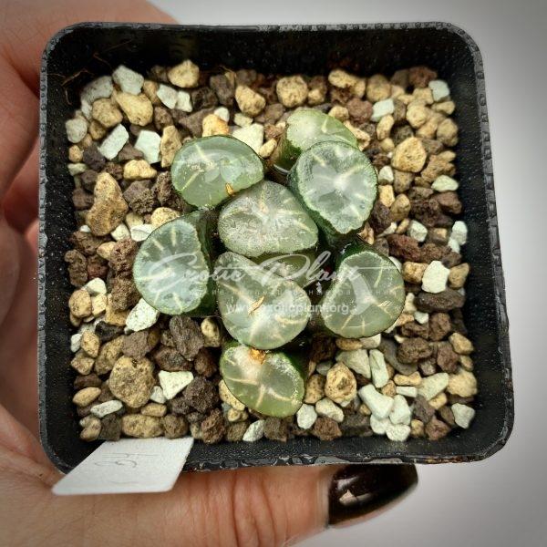 34 Haworthia maughanii Sabishi Bansho ex Japan