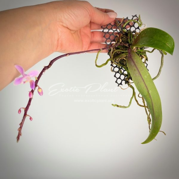 456 Phalaenopsis equestris BS