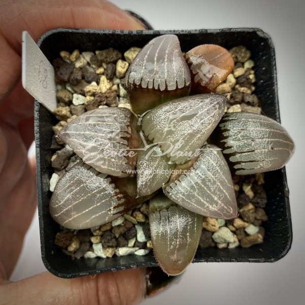 69 haworthia springbokvlakensis Tucuman ex Japan
