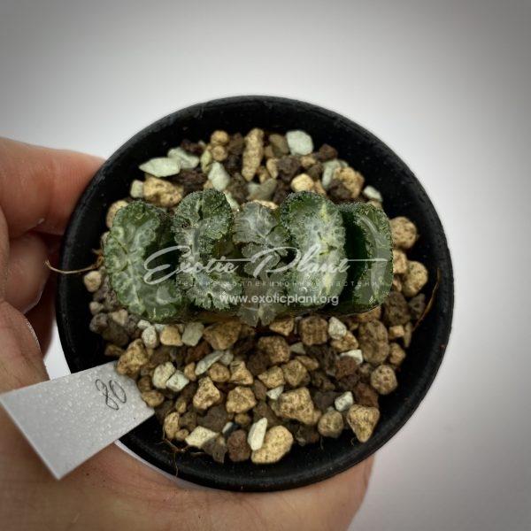 80 haworthia truncata Fangi ex Japan