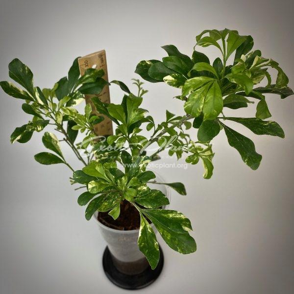 Aglaia odorata variegated / аглая одората вариегатная