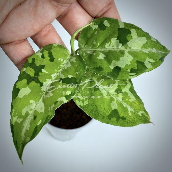 aglaonema pictum tricolor #1