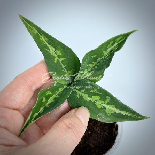 aglaonema pictum tricolor #3