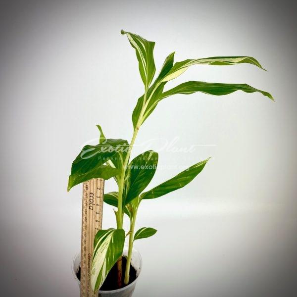 Alpinia vittata variegated