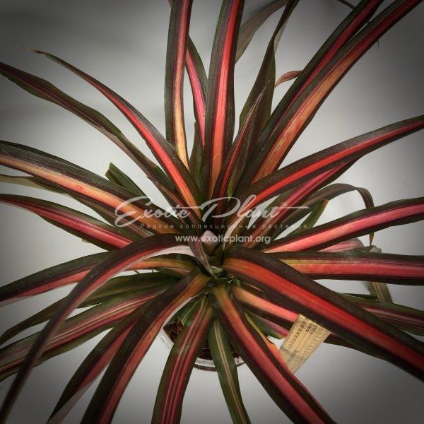 ananas lucidus Lava Burst