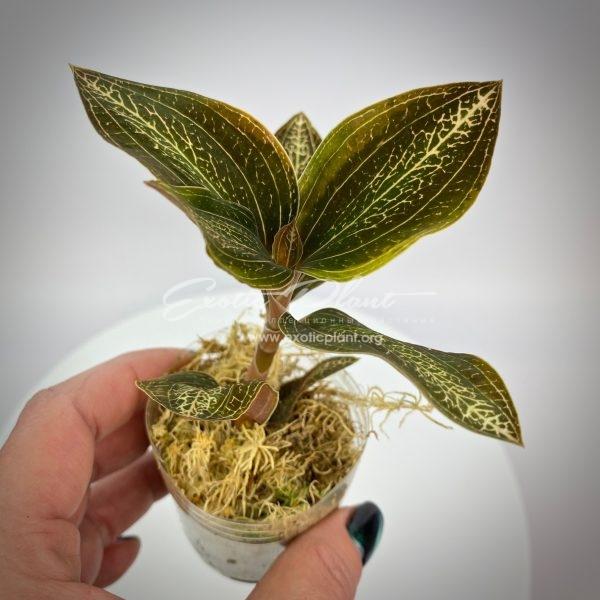 Anoectochilus hybrid variegated