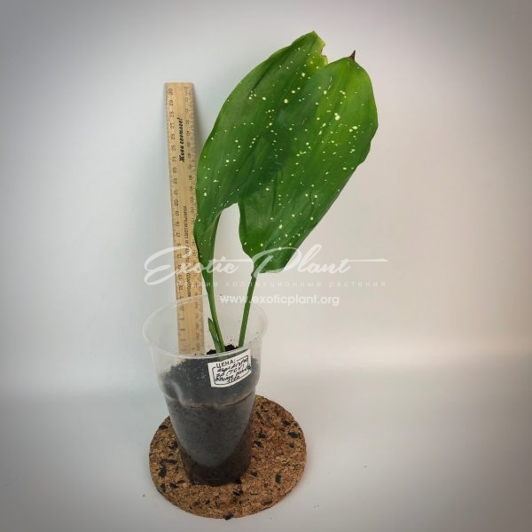 Aspidistra sp.(T04) elatior Blume cv punctata