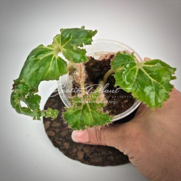 Begonia Crestabrunchii / бегония Крестабрунха