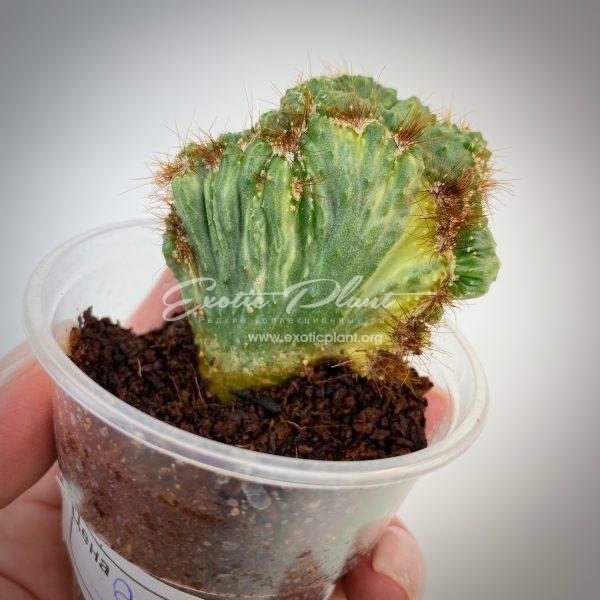 Cereus peruvianus f. monstrosa variegated