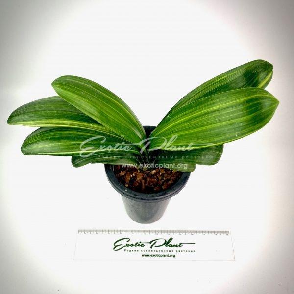 clivia miniata Daruma variegated