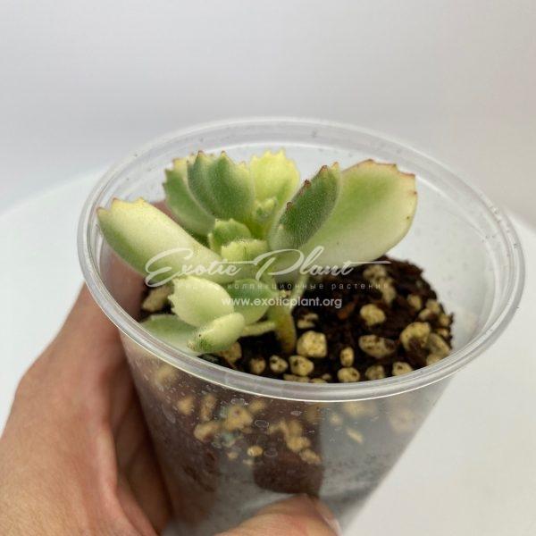 Cotyledon tomentosa variegata