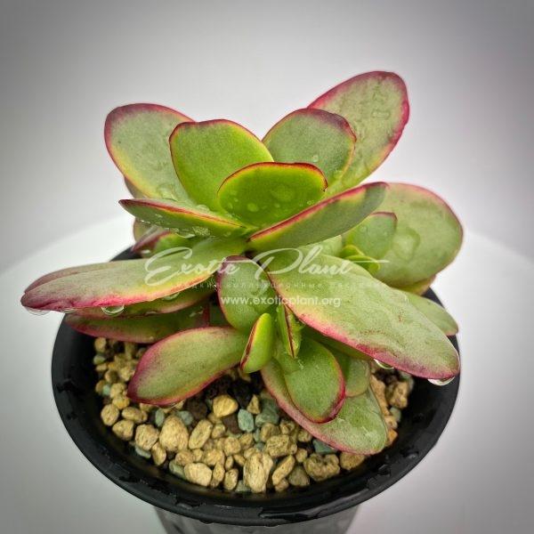 Crassula atropurpurea variegata